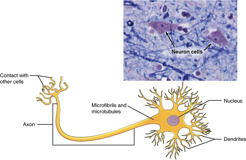 The Neuron.jpg