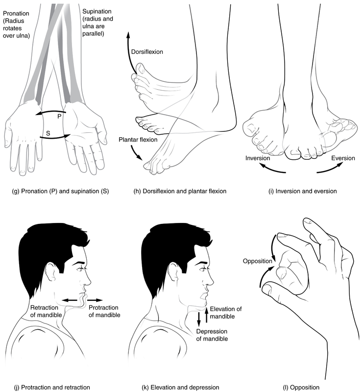 Movements of the Body, Part 2.jpg