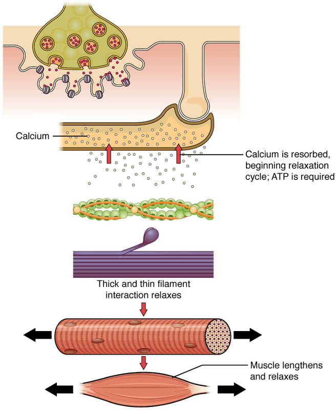 Relaxation of a Muscle Fiber.jpg