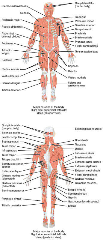 Overview of the Muscular System.jpg