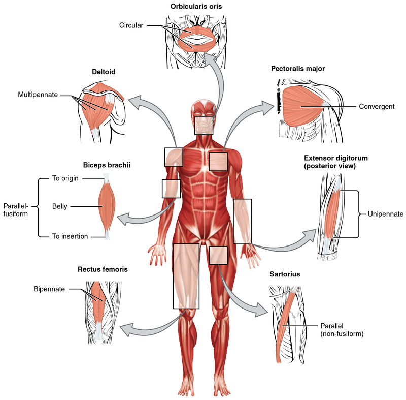 Muscle Shapes and Fiber Alignment.jpg