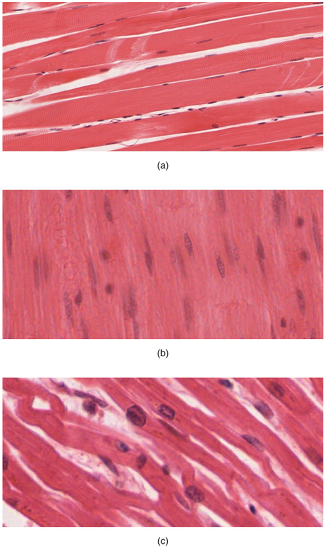 The Three Types of Muscle Tissue.jpg