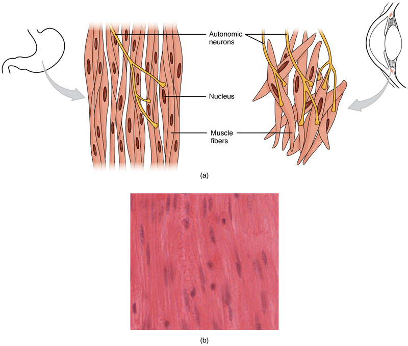 Smooth Muscle Tissue.jpg