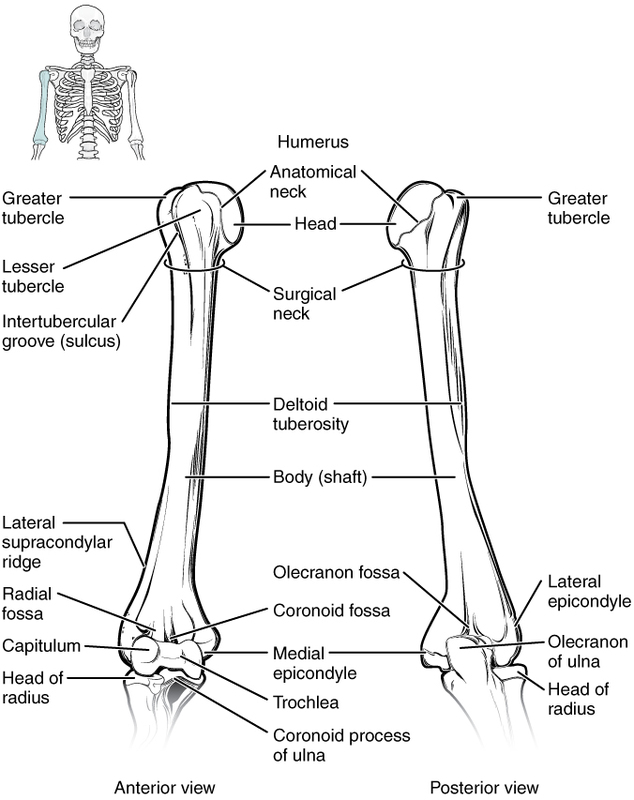Humerus and Elbow Joint.jpg