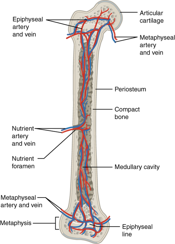 Diagram of Blood and Nerve Supply to Bone.jpg