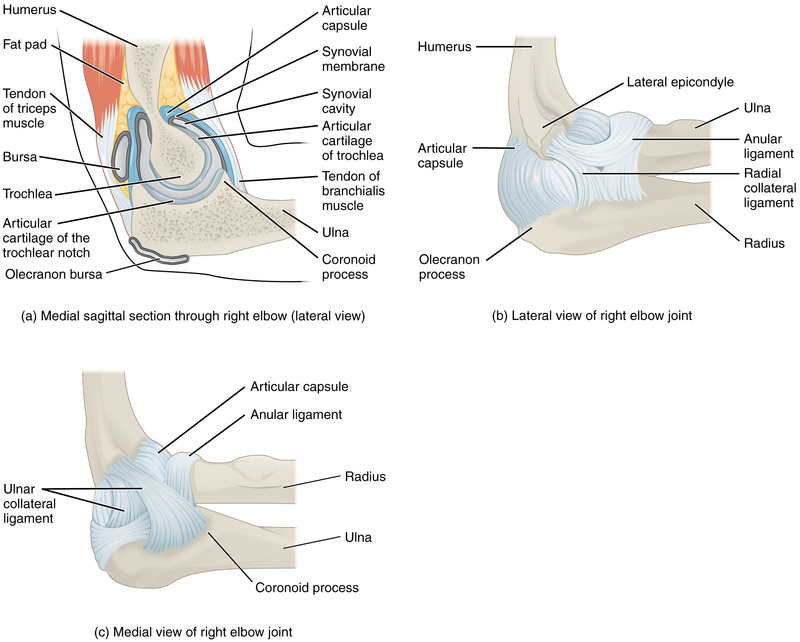 Elbow Joint.jpg