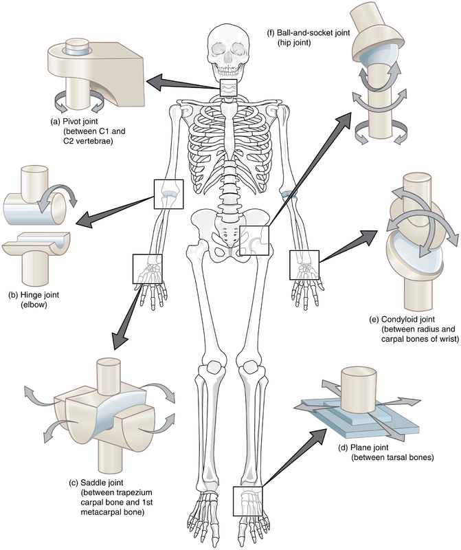 Types of Synovial Joints.jpg