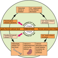 Pathways in Calcium Homeostasis.jpg