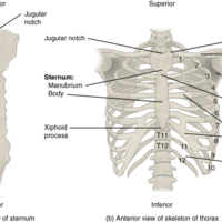 Thoracic Cage.jpg
